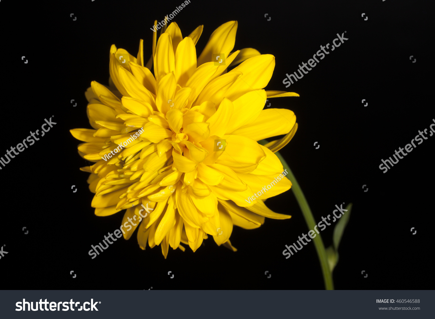 Yellow Flower On Black Background Stock Photo Edit Now 460546588