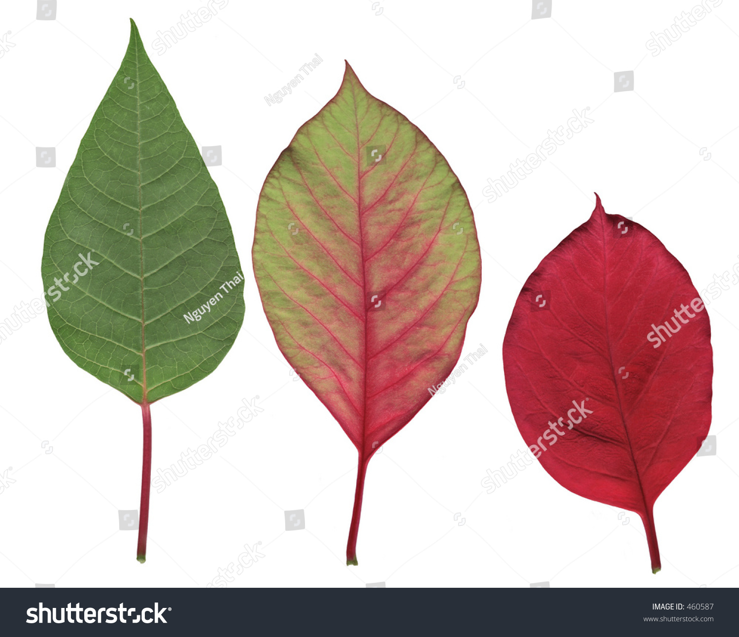 poinsettia leaves three stages changing color stock photo 460587