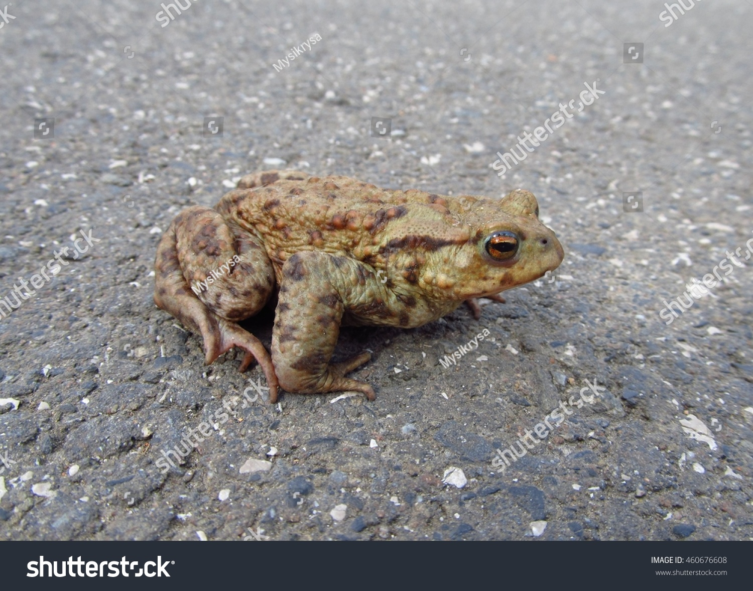 close photo toad on road stock photo royalty free 460676608