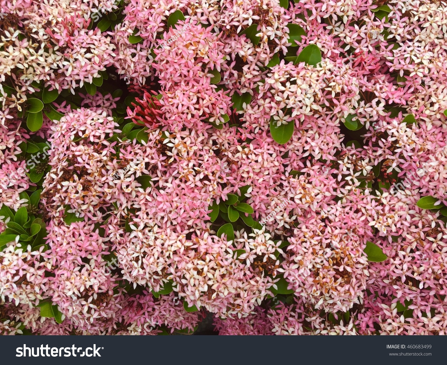 Groups Pink Spike Flowers Stock Photo Edit Now 460683499