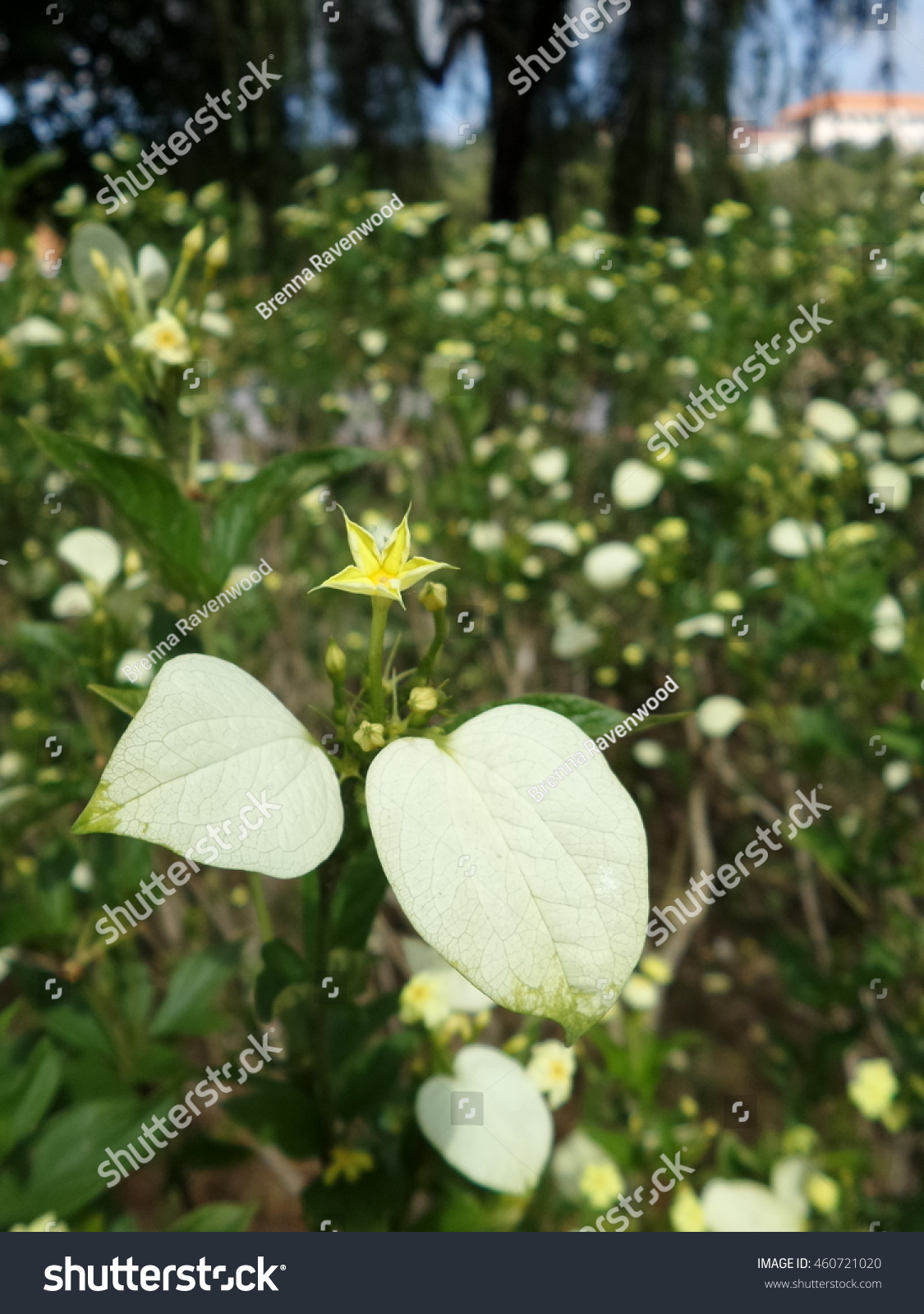 White Flower Look Like Star Stock Photo Royalty Free 460721020