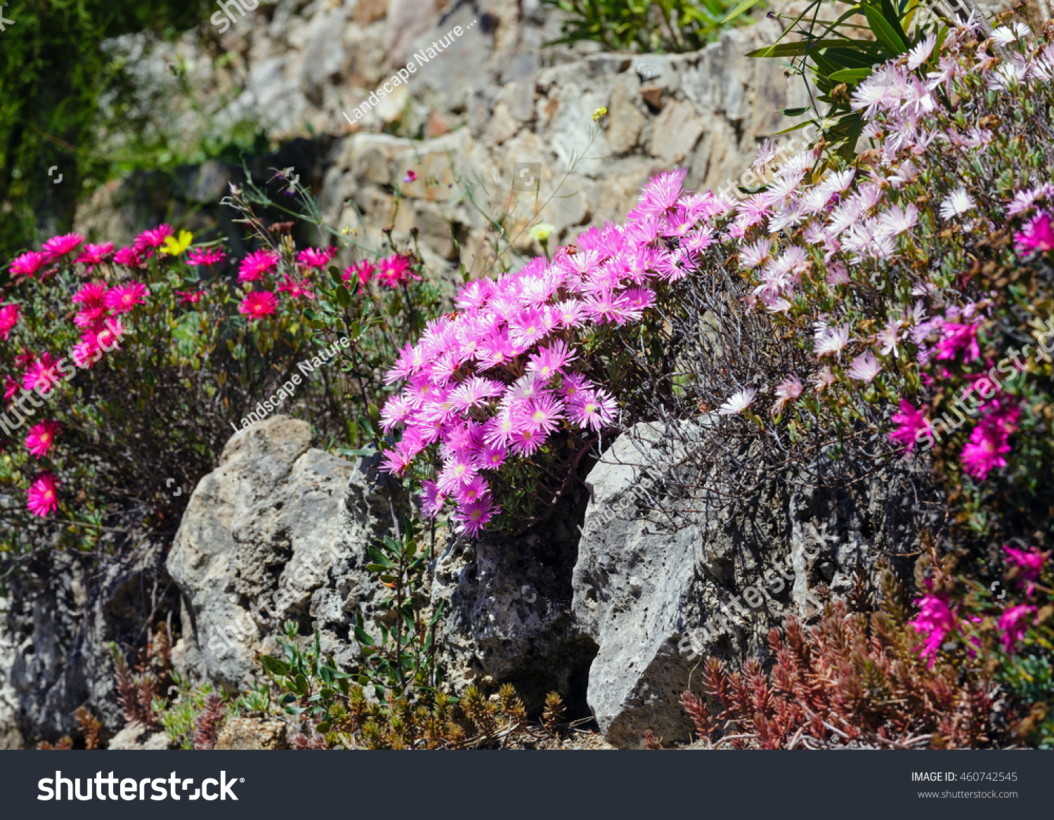 Carpobrotus known pigface ice plant pink stock photo royalty free carpobrotus known as pigface ice plant with pink large daisy like flowers izmirmasajfo Image collections