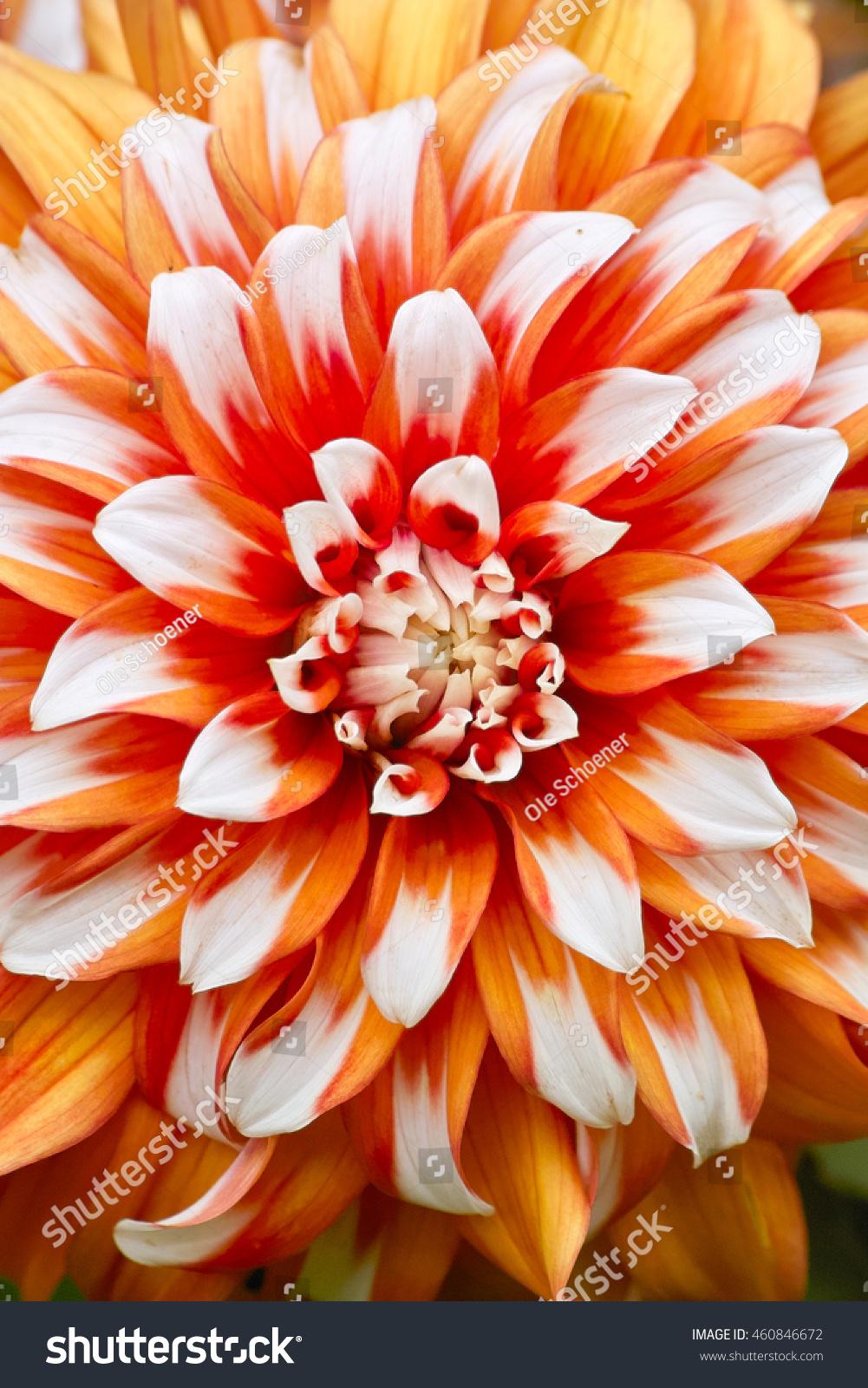 Orange Dahlia Flower White Tips Dahlia Stock Photo Edit Now