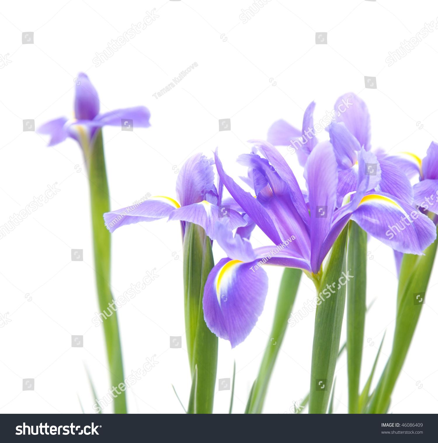 Open iris flowers bouquet ez canvas id 46086409 izmirmasajfo
