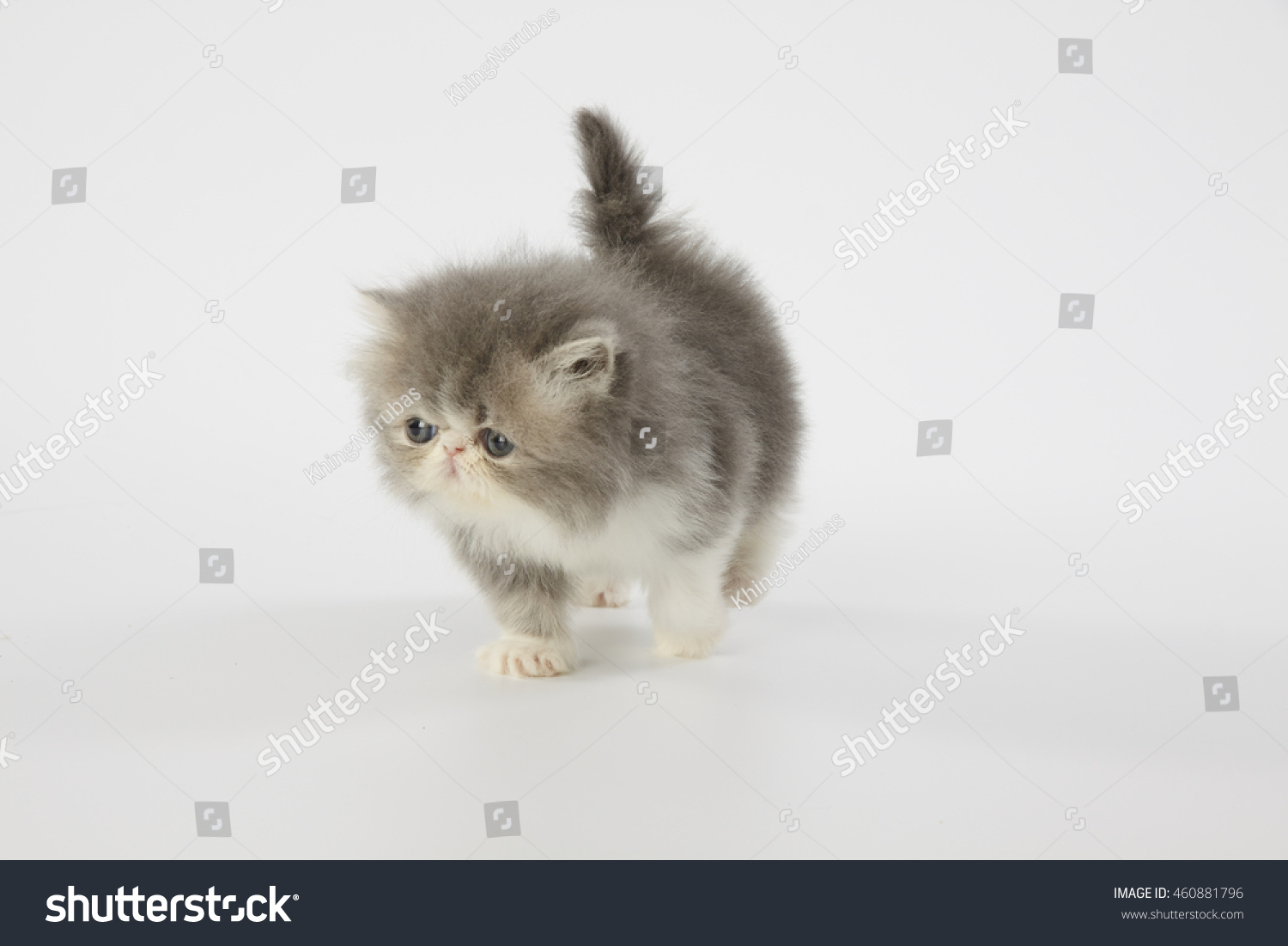 Blue White Persian Kitten Cat Stock Shutterstock