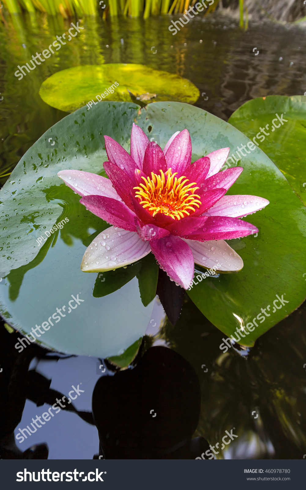 Pink water lily flowers in bloom with lilypad in garden backyard id 460978780 izmirmasajfo