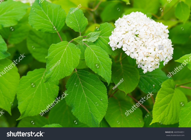 Hydrangea Bush One Bunch White Flowers Stock Photo Edit Now