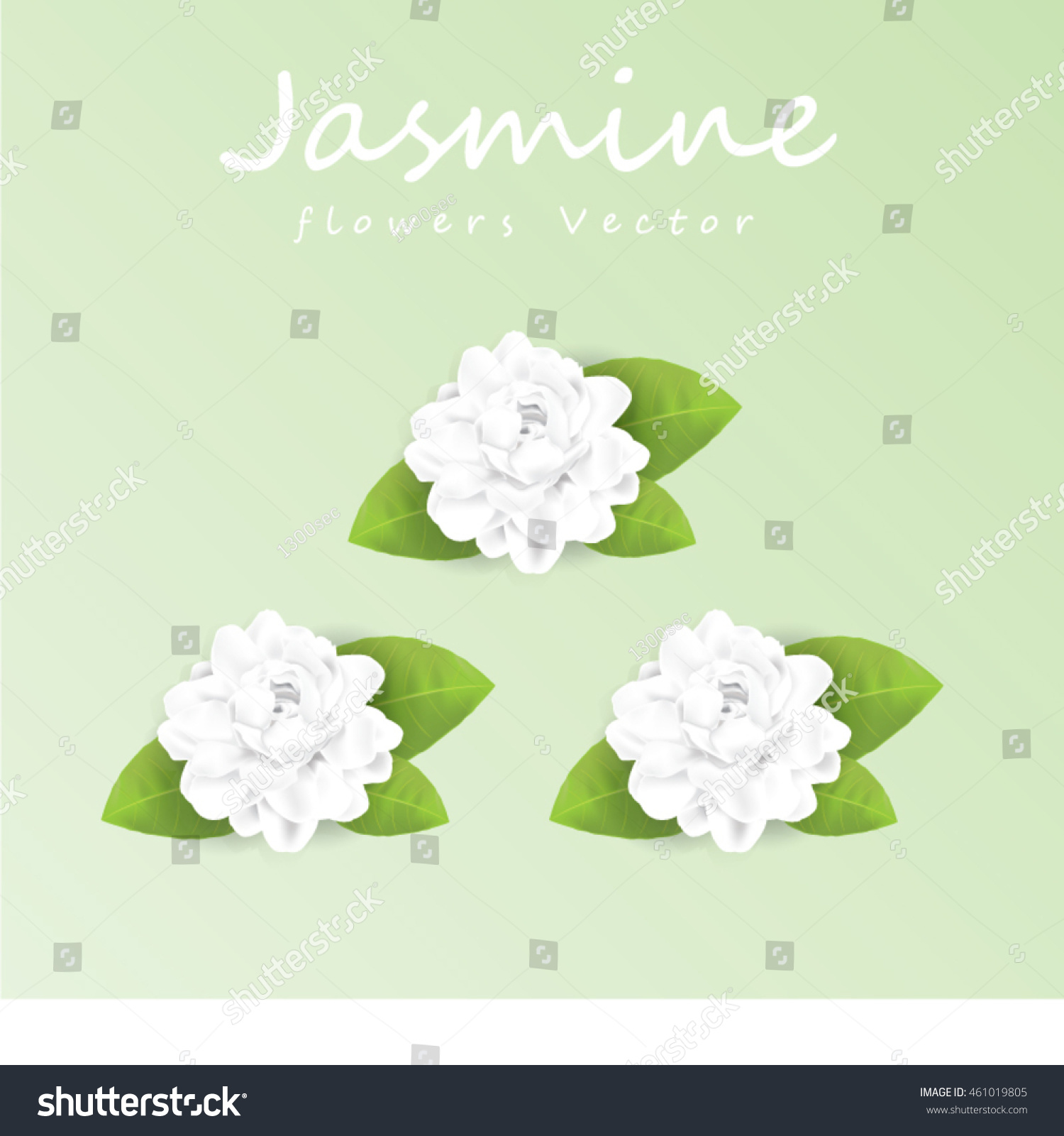 Jasmine Flower Vector Illustration Stock Vector Royalty Free