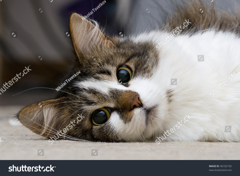 Funny Kitty Lying Floor Room Stock Shutterstock