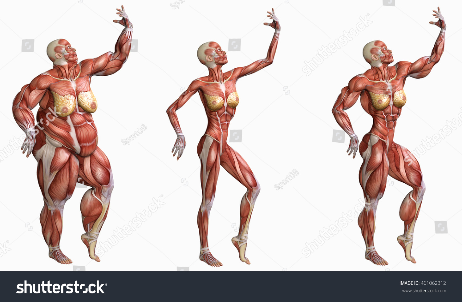 Three Shape 3 D Anatomical Muscles Women Stock Illustration ...
