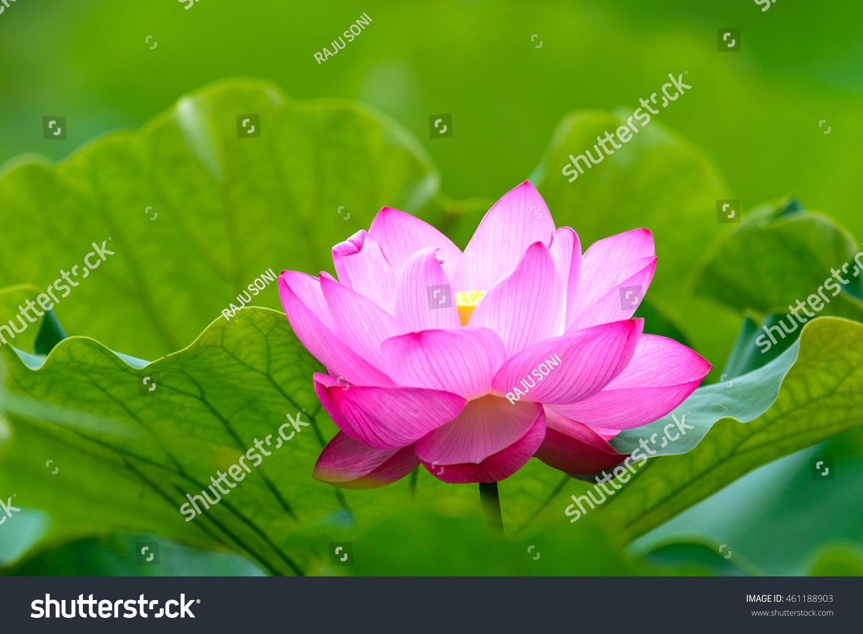 Lotus Flower Nelumbo Nucifera Indian Lotus Stock Photo Edit Now