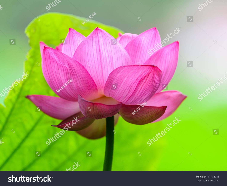 lotus flower nelumbo nucifera indian lotus stock photo (edit now