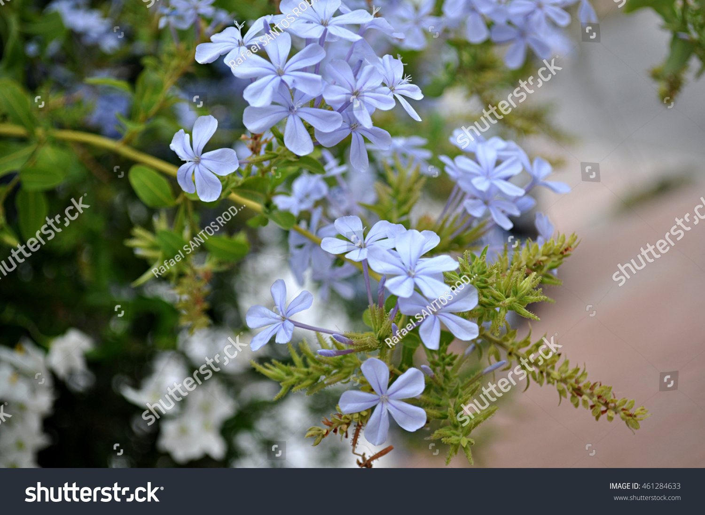 Jasmine blue plumbago flowers stock photo edit now 461284633 jasmine blue plumbago flowers izmirmasajfo