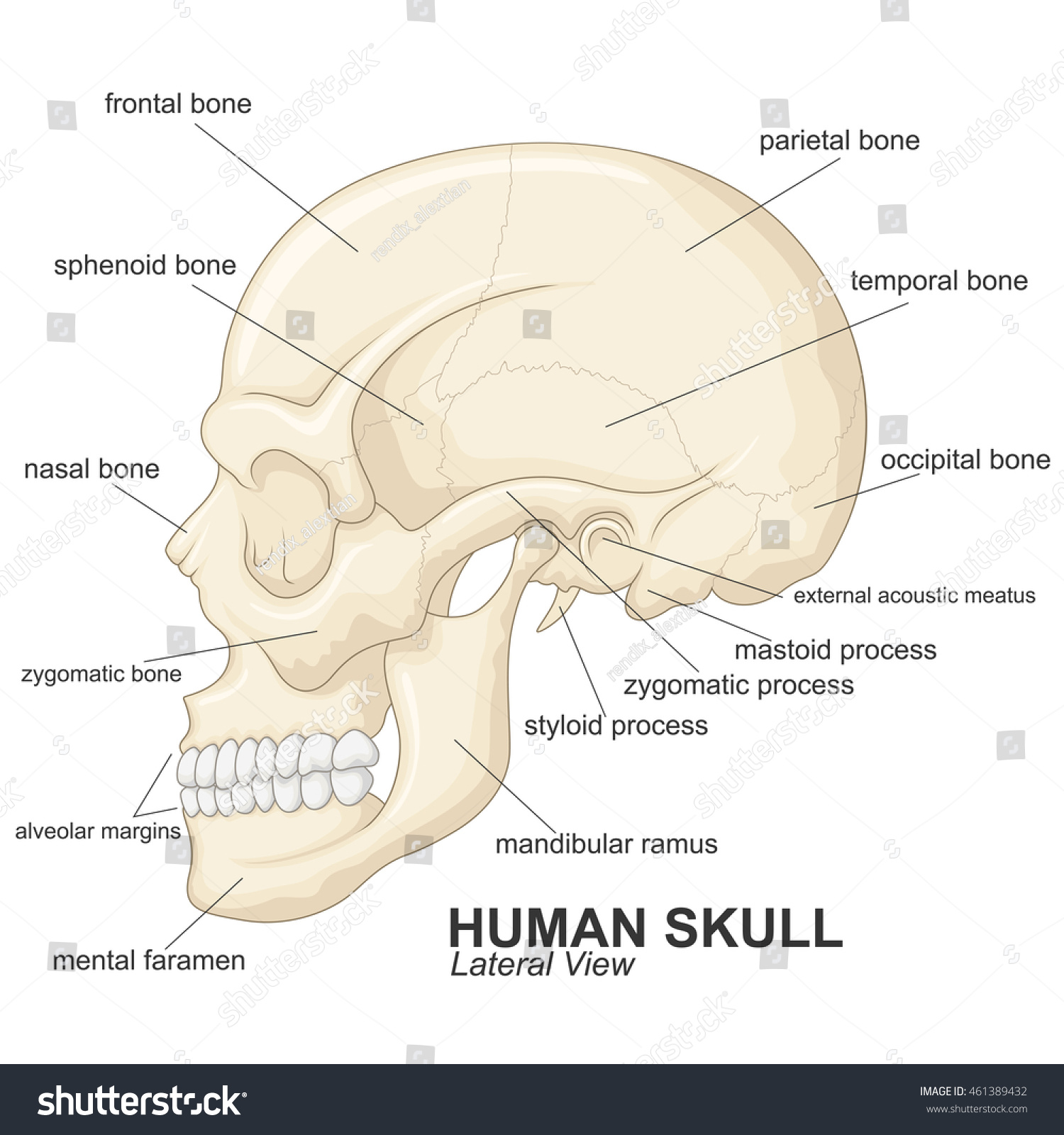 Human Skull Lateral View Explanation Stock Vector 461389432