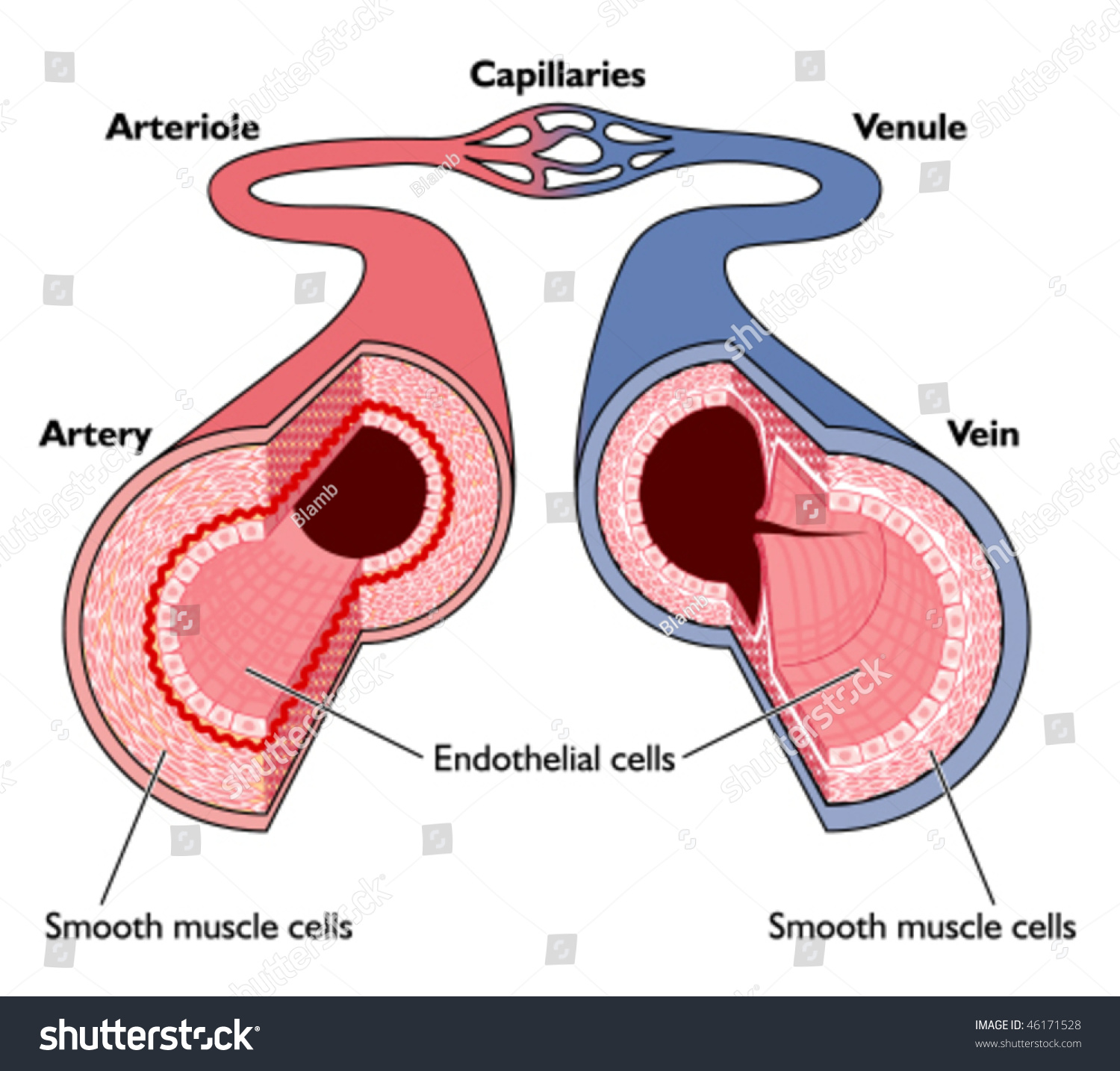 Anatomy Blood Vessels Artery Through Capillaries Stock Vector
