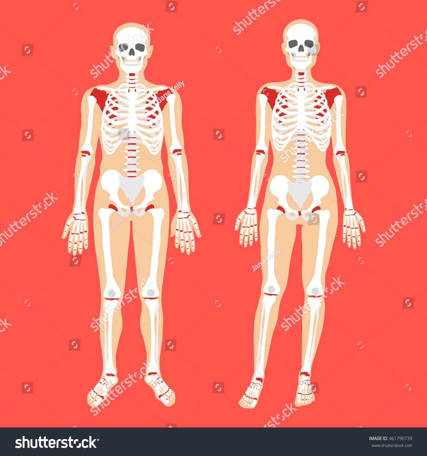 Human Anatomy Skeletal System Female Male Stock Vector Royalty Free