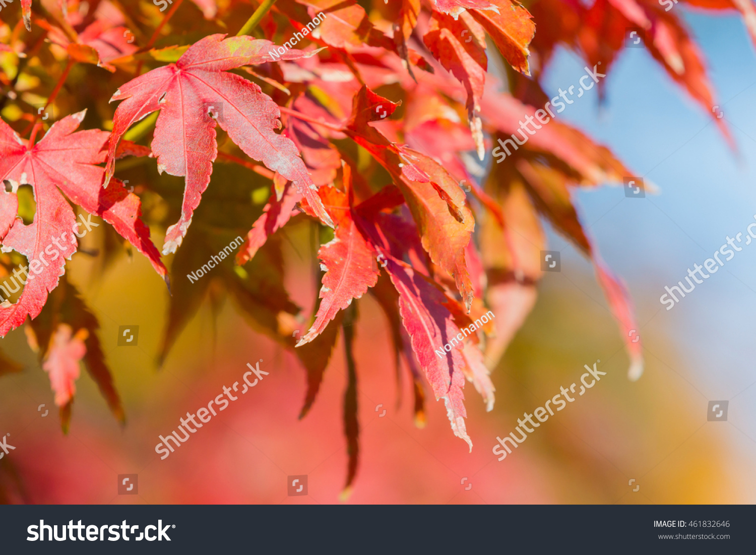 Red maple leaf in forest in fall season, Beautiful autumn background. #461832646