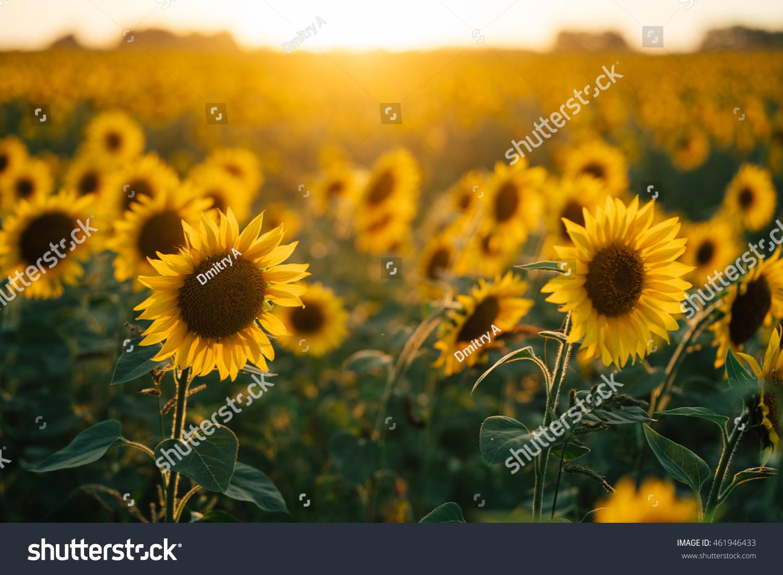 Beautiful sunflowers sunset stock photo edit now 461946433 beautiful sunflowers in the sunset izmirmasajfo