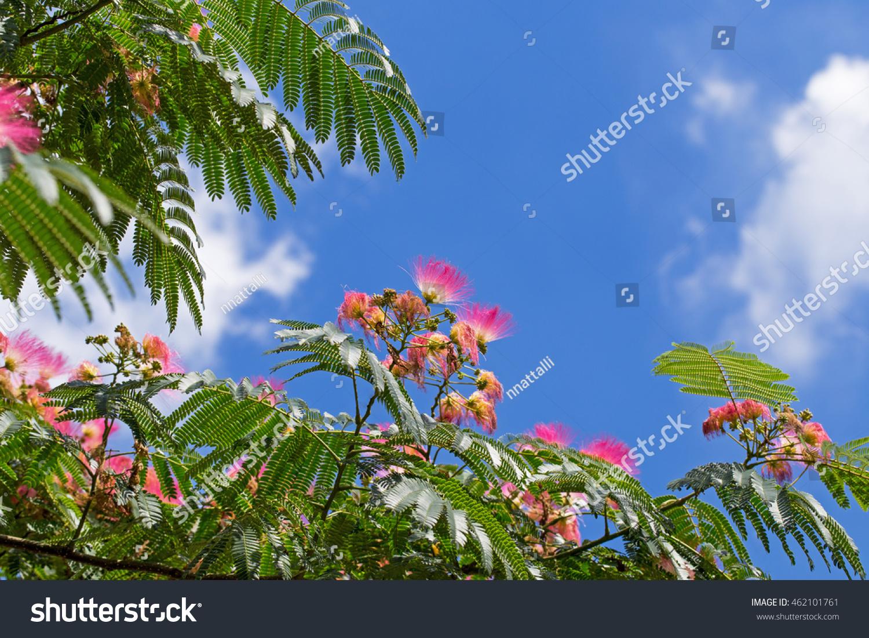 Pink mediterranean flowers cloudy blue sky stock photo edit now pink mediterranean flowers in cloudy blue sky background flowers on blooming albizia julibrissin persian mightylinksfo
