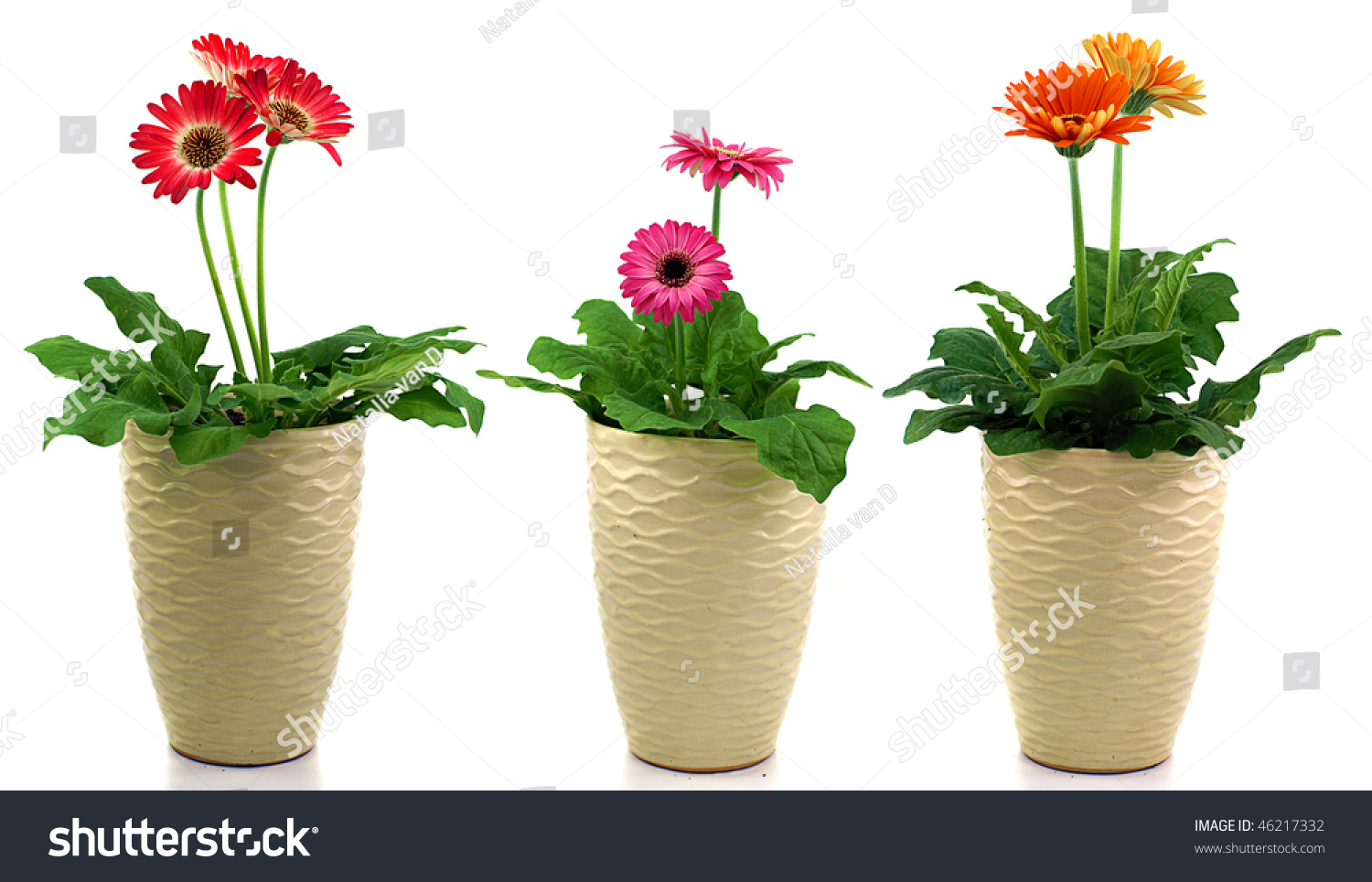 Three pots different gerbera daisy flowers stock photo edit now three pots with different gerbera daisy flowers isolated on white izmirmasajfo