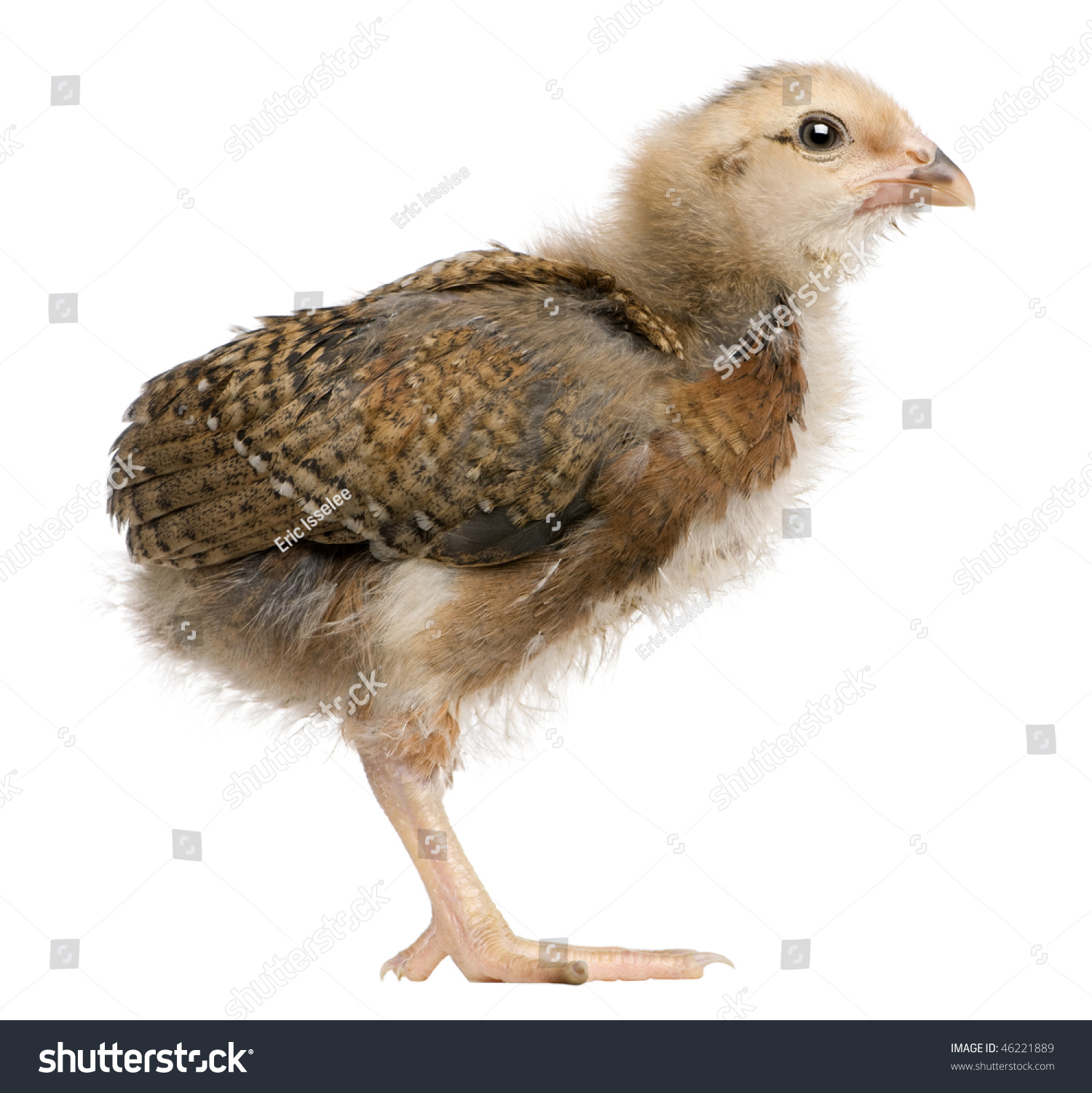 stock-photo-araucana-also-known-as-a-south-american-rumpless-chick-days-old-standing-in-front-of-white-46221889.jpg