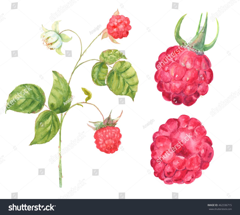Raspberry: useful properties of berries and leaves 83