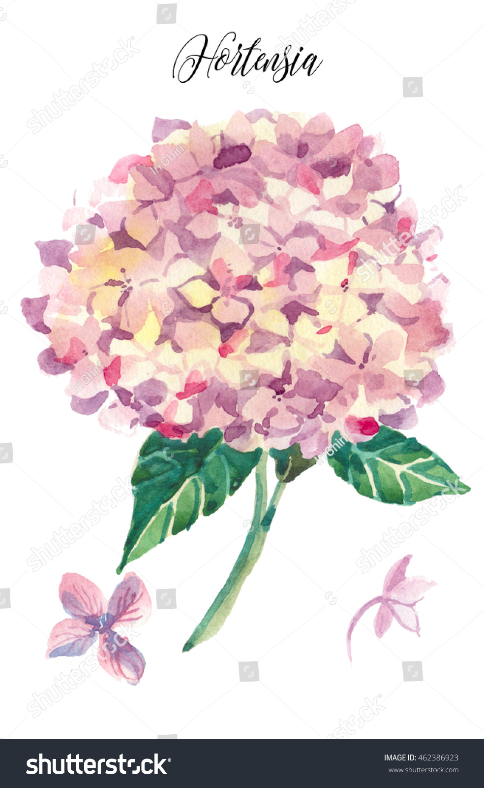 Pink Hydrangea Common Name Hortensia Flower Stock Illustration