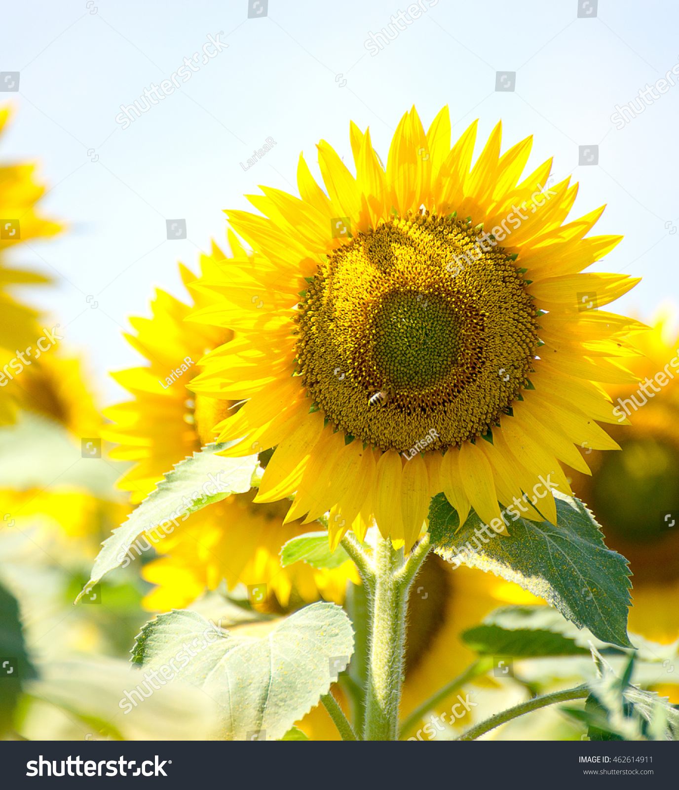 sunflowers flowers green background nature yellow summer wallpaper