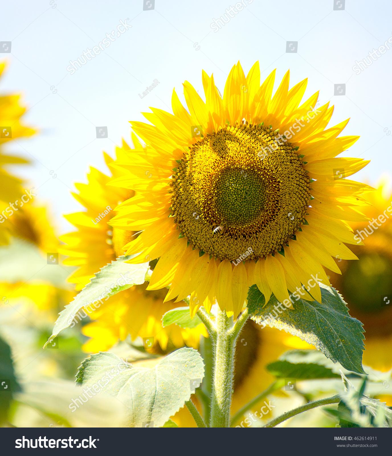 sunflowers flowers green background nature yellow summer wallpaper