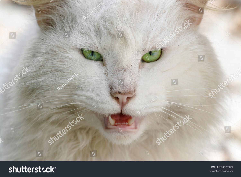 White Persian Cat Green Eyes Stock Photo 4626949 ...
