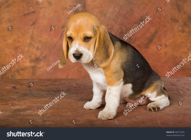 Pretty Tricolour Beagle Puppy On Brown Stock Photo Edit Now 46272370