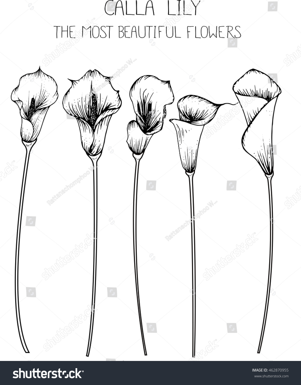 Drawing Flower Calla Lily Clip Art Stock Vector Royalty Free