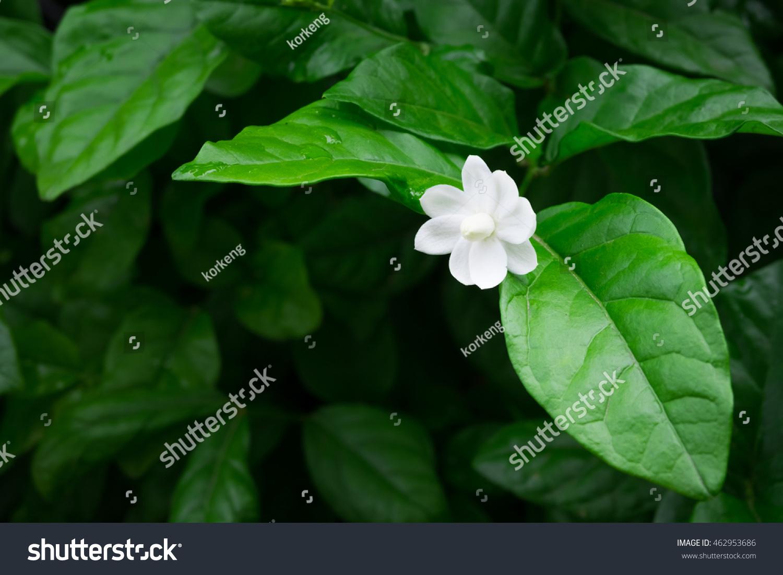 Single Jasmine Flower On Branch Dark Stock Photo Edit Now