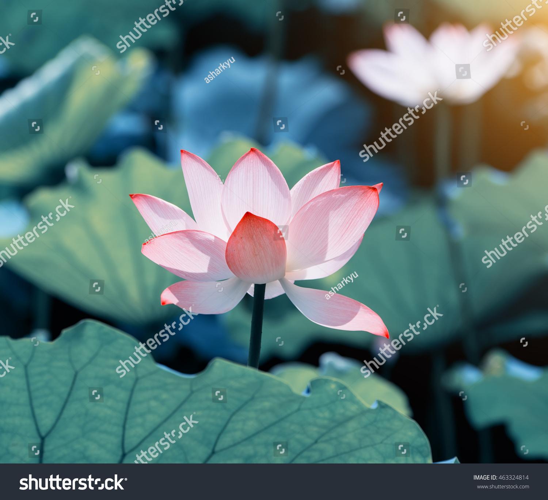 Lotus Flower Lotus Flower Plants Stock Photo Edit Now 463324814