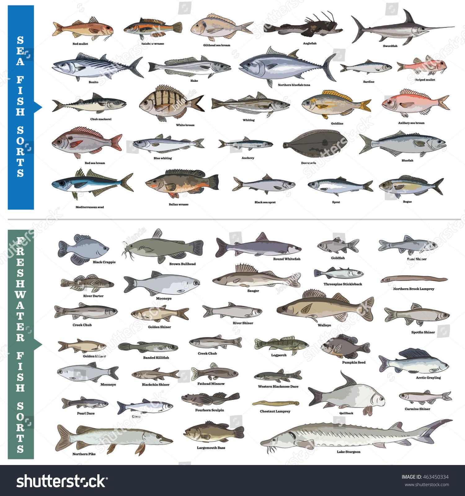 fish sorts types seawater freshwater fish stock vector