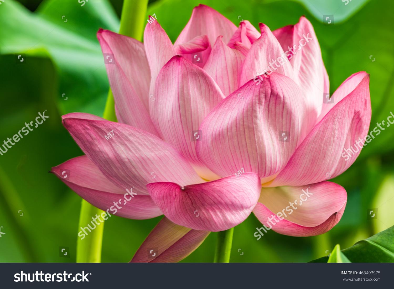 Lotus Flower Taken Ueno Park Tokyo Stock Photo Edit Now 463493975