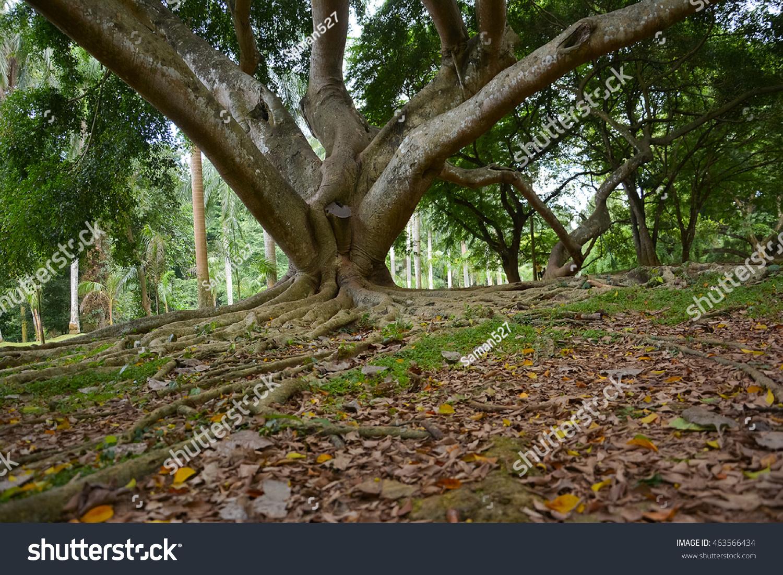 Old Giant Trees Peradeniya Royal Botanical Stock Photo (Royalty Free ...