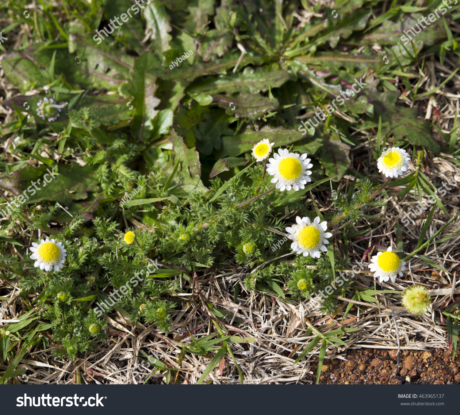 Royalty free tiny cotula turbinata funnel weed 463965137 stock tiny cotula turbinata funnel weed flowers in winter spring with feathery divided leaves white flower heads with small white ray florets with yellow mightylinksfo
