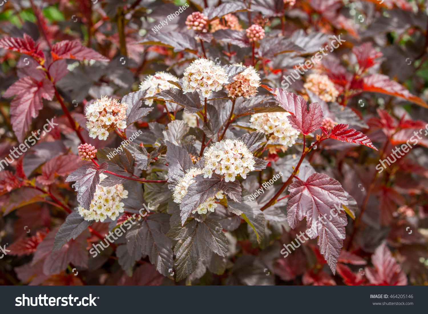 Flowering physocarpus red leaves white flowers stock photo edit now flowering physocarpus with red leaves and white flowers also called ninebark a popular red leaved mightylinksfo