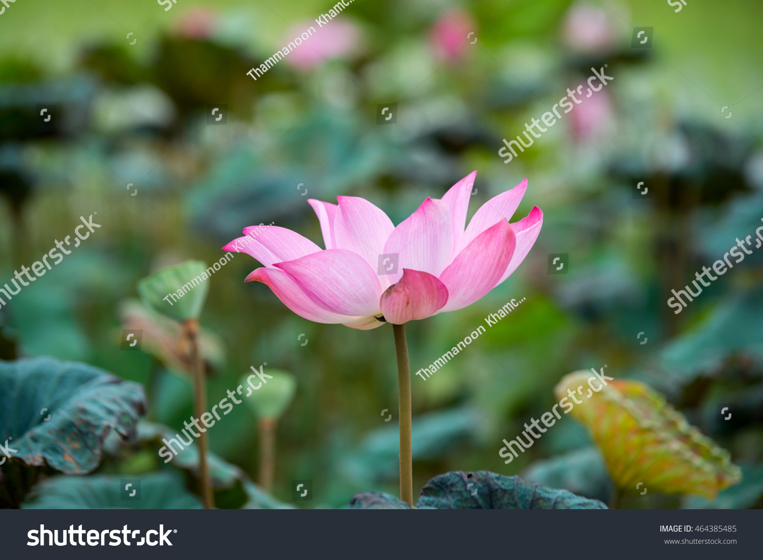 Lotusblossom lotus flower pondlotus blooming beautiful stock photo lotusblossom lotus flower in pondlotus blooming beautiful lotusbig lotus mightylinksfo Image collections