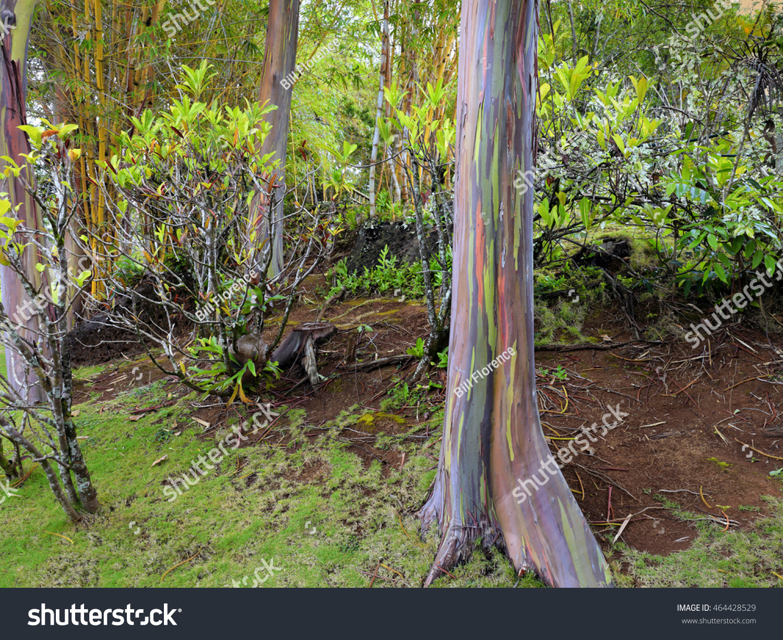 Eucalyptus Deglupta Rainbow Eucalyptus Trees Dominate Stock Photo ...