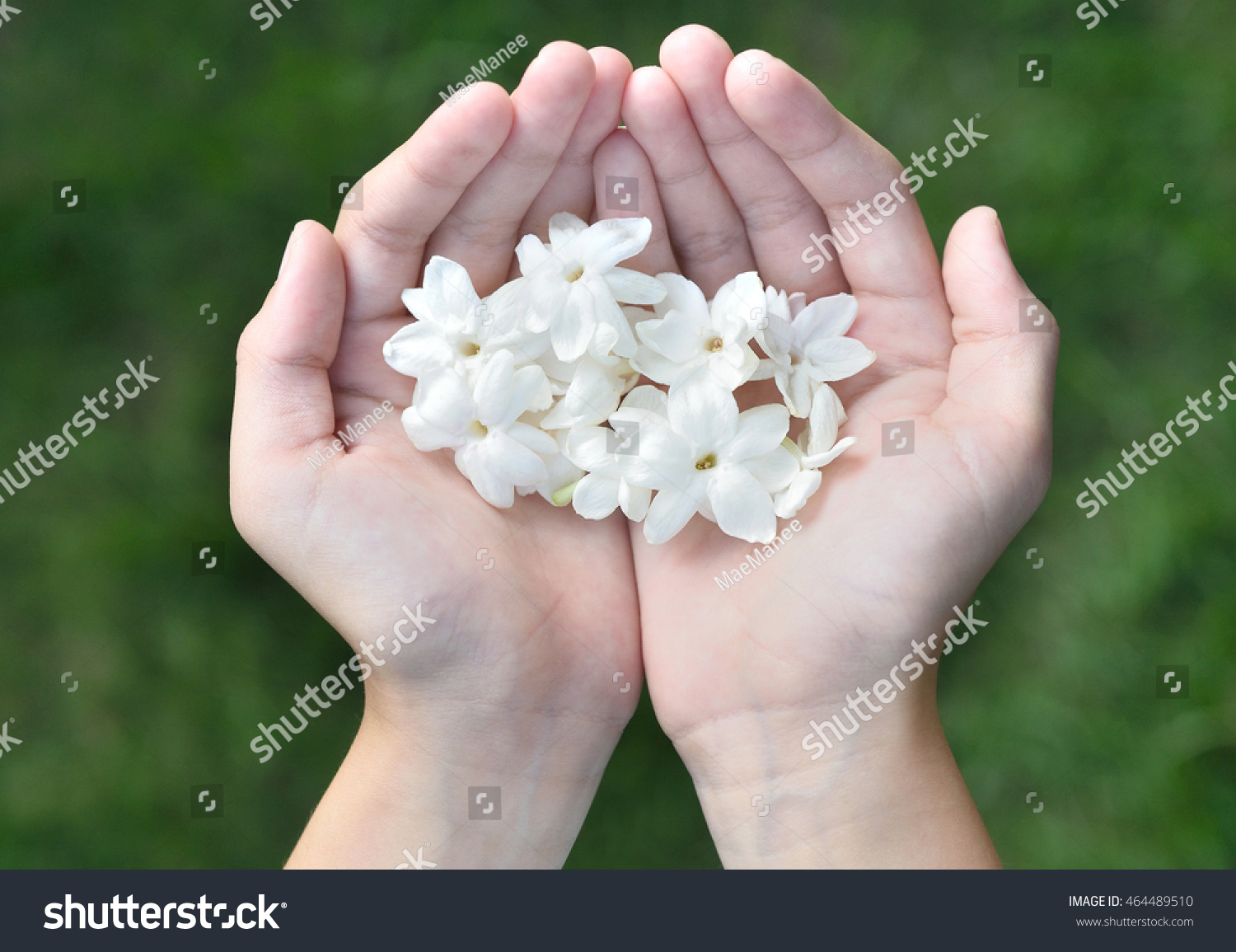 Royalty free asian girl hands holding white jasmine 464489510 asian girl hands holding white jasmine flowers this flower is symbol of thailand mothers day izmirmasajfo