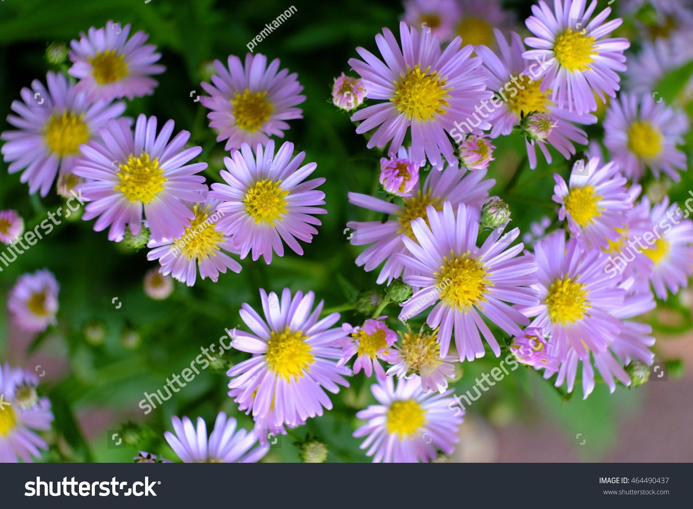 Blooming Purple Daisy Flower In Summer Ez Canvas