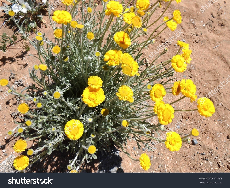 Marigold Yellow Desert Flowers Arizona Usa April Stock Photo Edit