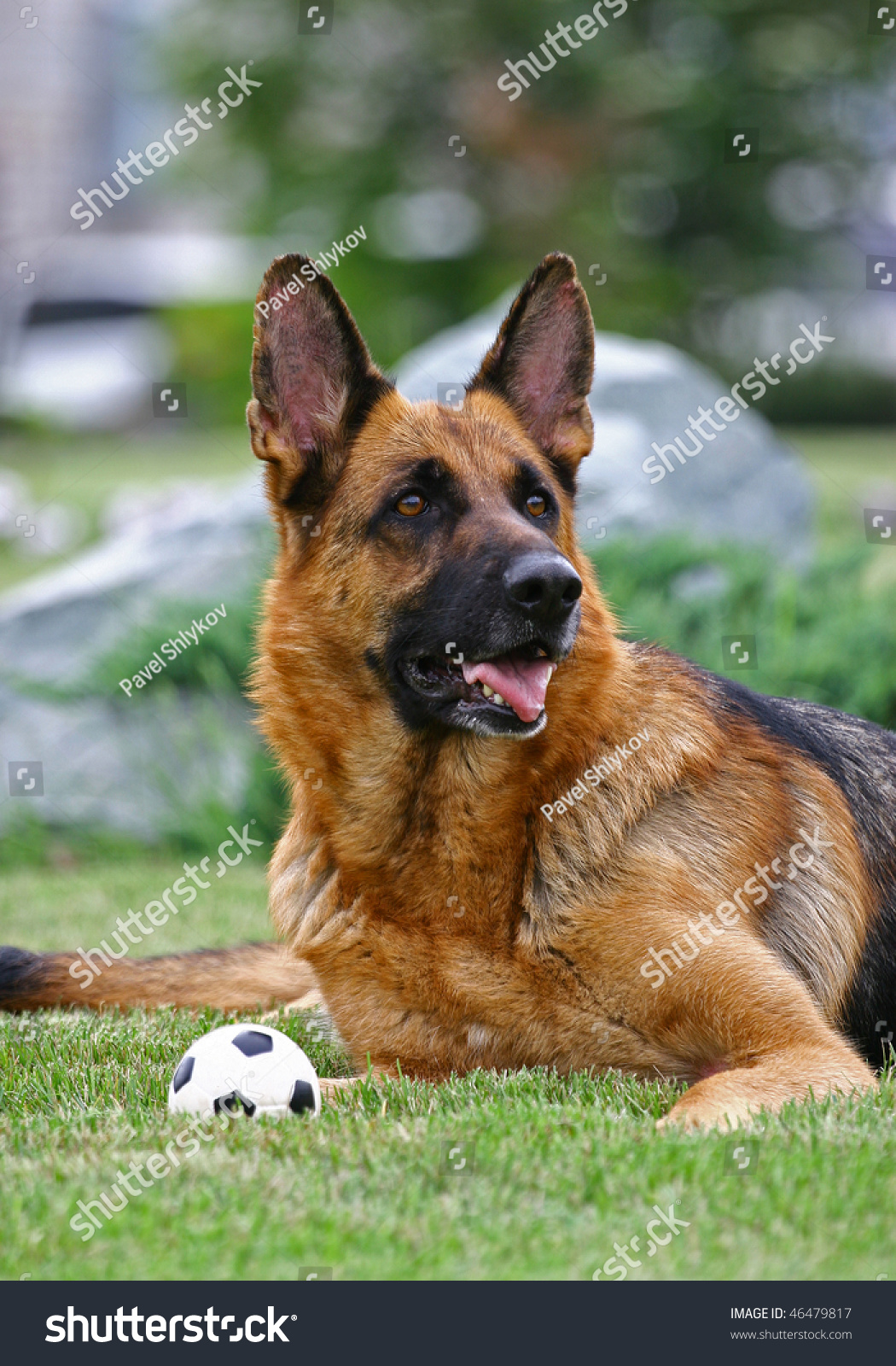 The Dog Of Breed A German Shepherd Lies With A Small ...
