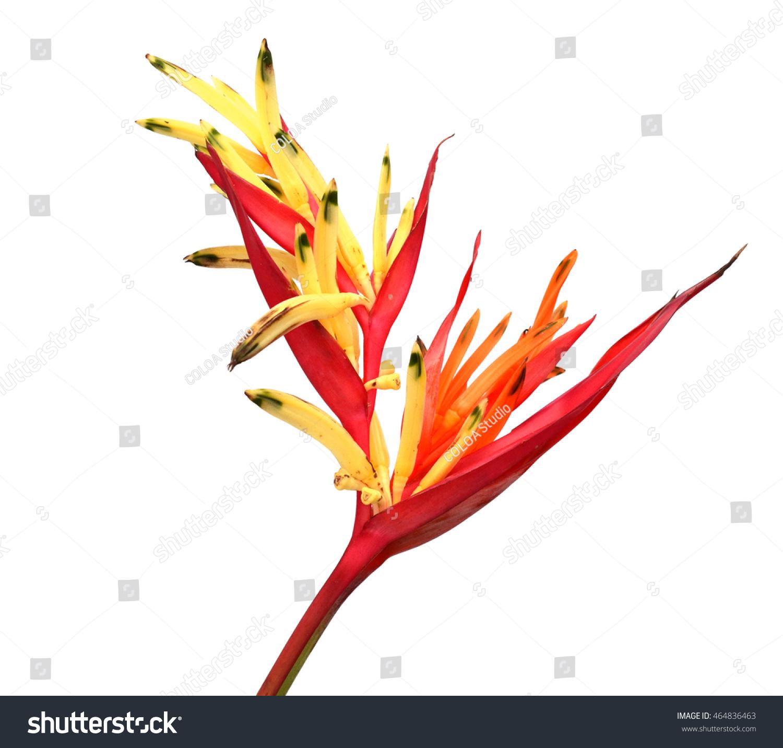 Bird Paradise Transparent Flower Isolated Over Stock Photo (Royalty ...