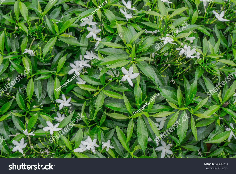 Close Green Bush Small White Flowers Stock Photo Edit Now