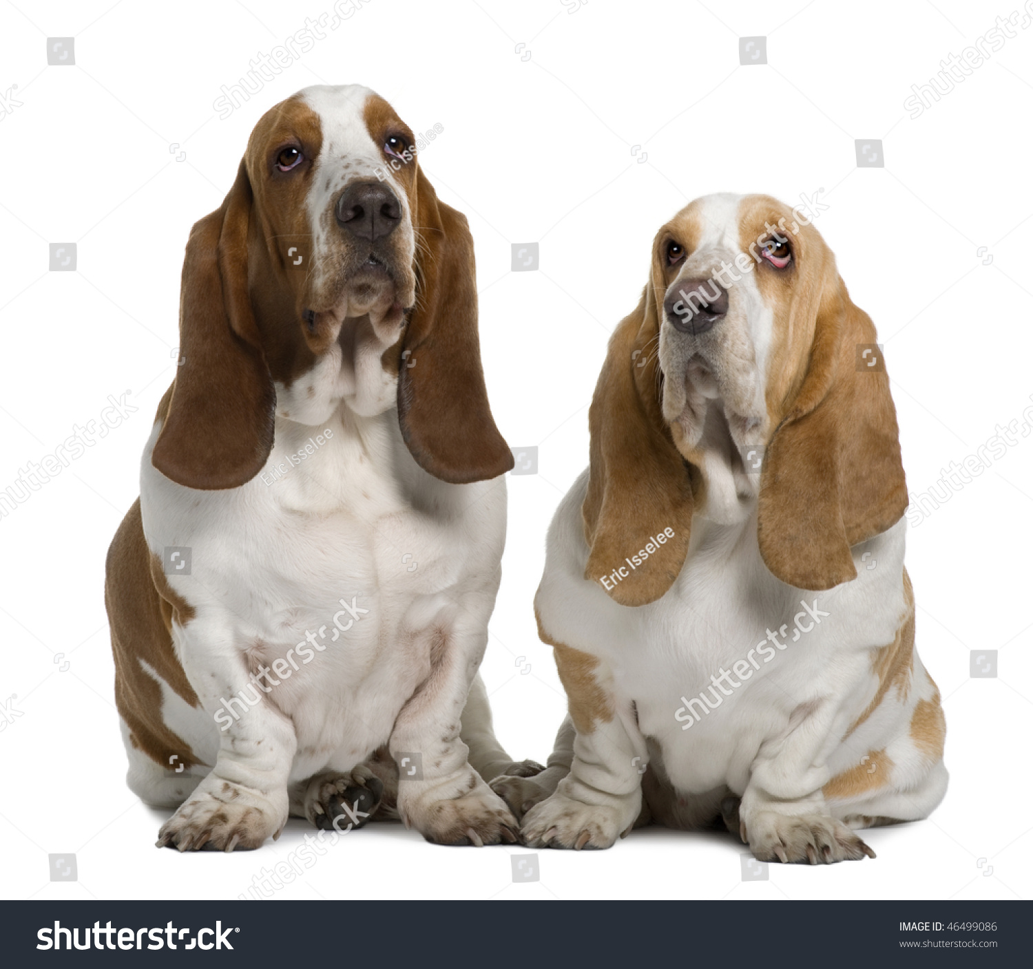 Two Basset Hounds, 1 Year Old And 3 Years Old, Sitting In ...
