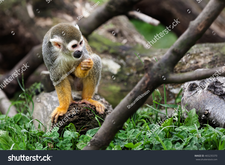 Squirrel monkeys in trees - photo#14