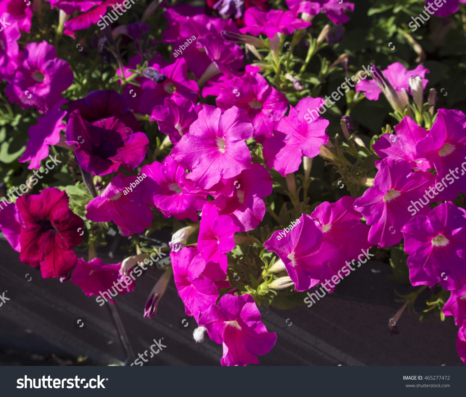 Cheerful single bright pink flowers annual stock photo royalty free cheerful single bright pink flowers of annual petunias family solanaceae blooming in a massed garden bed izmirmasajfo Choice Image